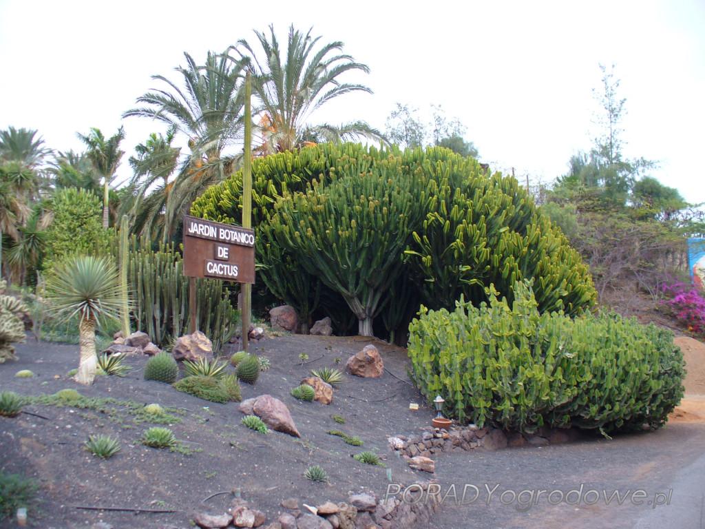 kaktusy giganty
