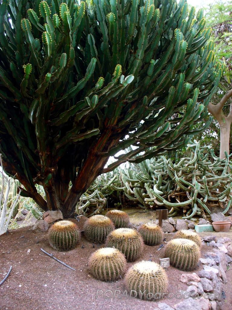 gigantyczny kaktus