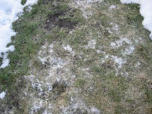 choroby-trawnika-pleśń-śniegowa