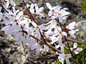 Abeliophyllum distichum.