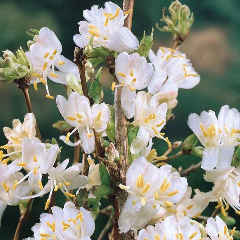kwiaty pachn ce zim i wiosn drzewa kwitn ce w zimie i. Black Bedroom Furniture Sets. Home Design Ideas