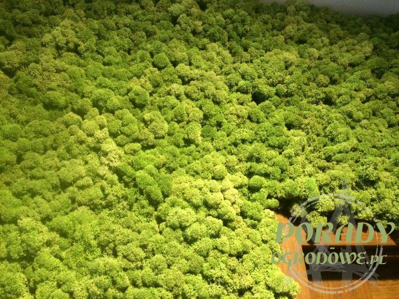 zielone ściana z mchu
