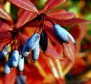 Kolorowy ogród – rośliny ładnie wybarwiające się na jesień