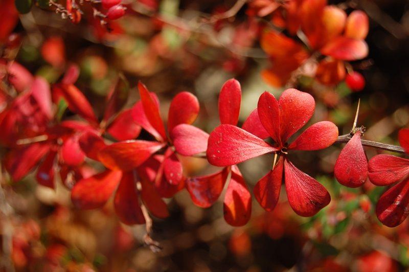 berberis-thunbergii-jesienne-liscie
