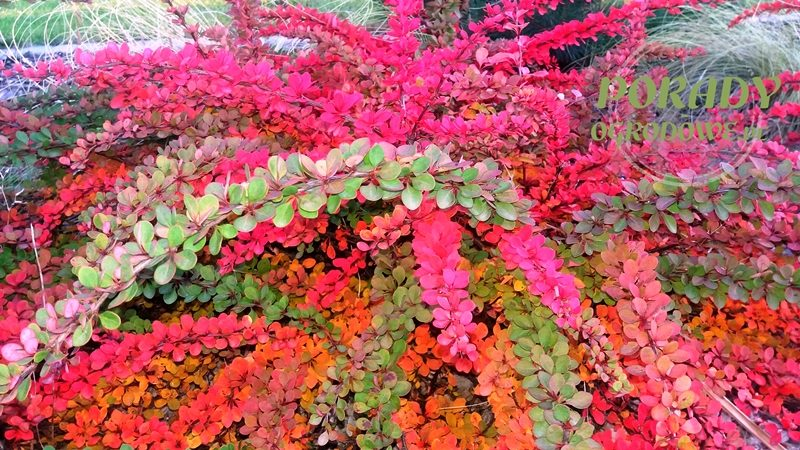 berberys-jesienią
