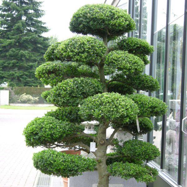 bonsai-ciecie
