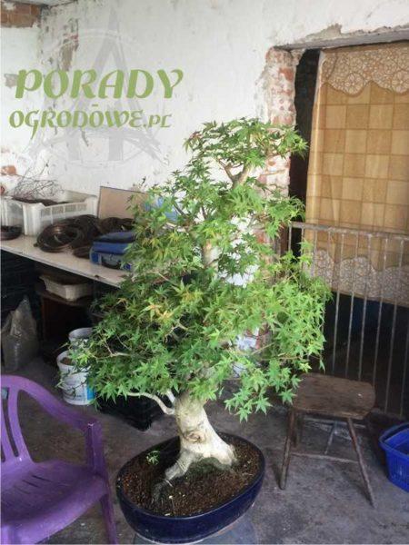 bonsai-formawanie