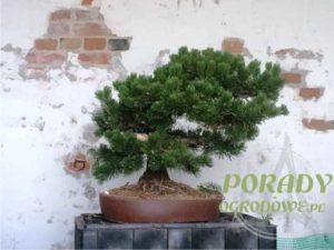 bonsai-formowanie
