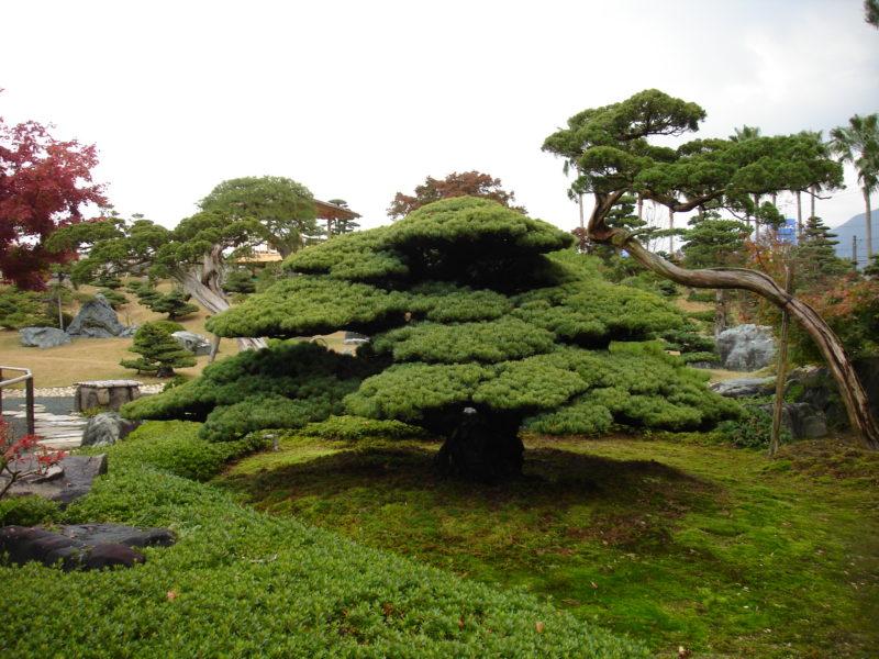 bonsai-pielegnacja