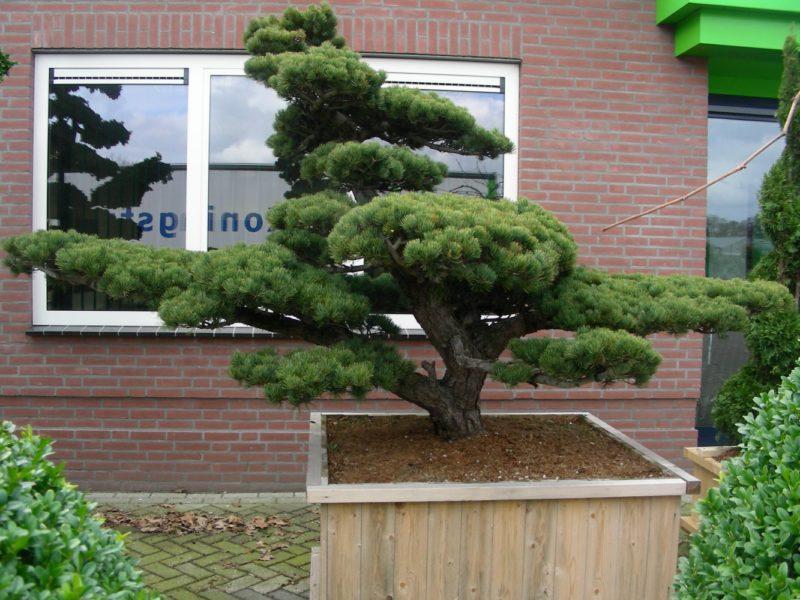 bonsai-sosna