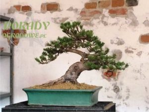 bonsai-w-donicy