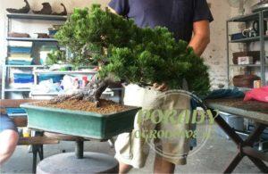 drzewko-bonsai-formowanie