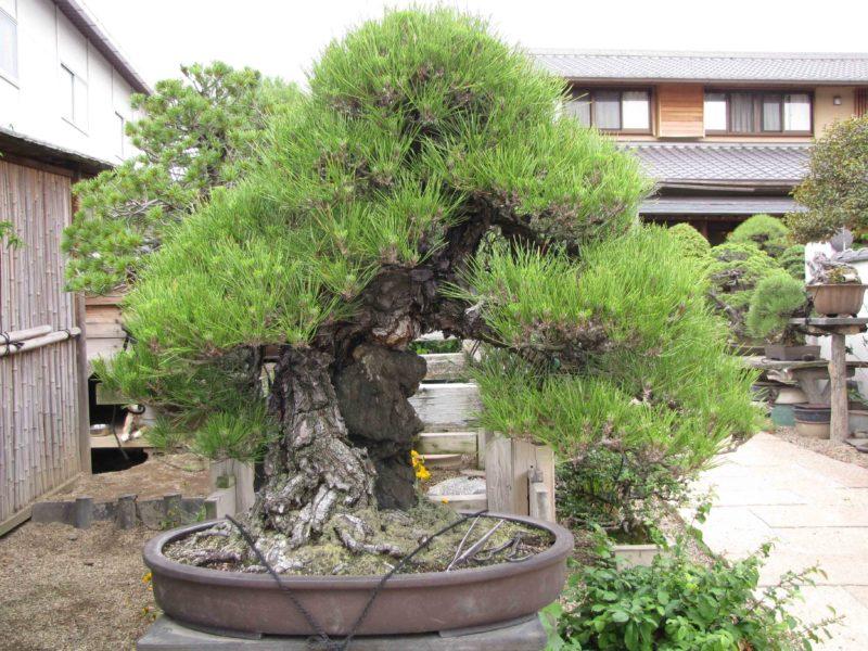 sosna-bonsai