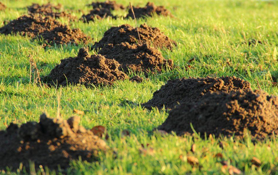 Jak pozbyć się kreta z ogrodu. Walka z kretem. Kretowiska na trawniku. Sposoby na kreta.