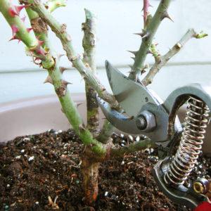 porady ogrodnicze róże