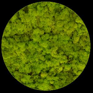 Kolory mchu - chrobotka reniferowego